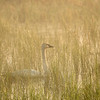 ATS-13-125-2: Misty morning Trumpeter Swan
