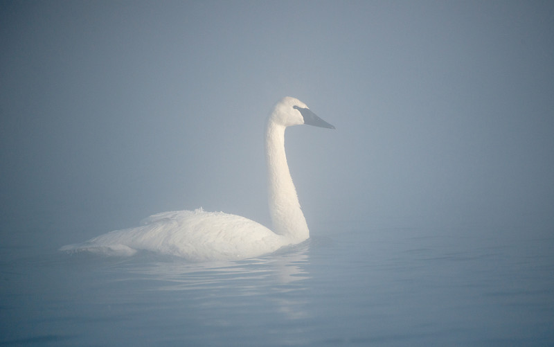 Adult Trumpeter in morning mist
