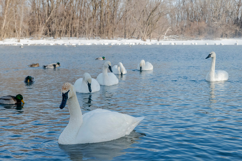 Trumpeter Swans on the Minnesota River
