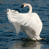 ATS-12045: Trumpeter Swan wing stretch
