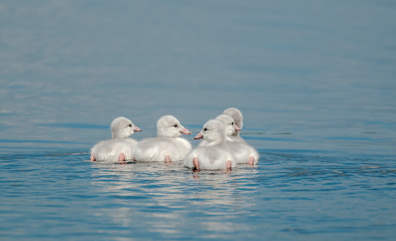 ATS-13-105: Day old Cygnets