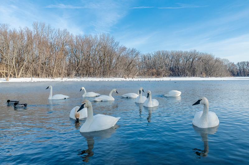 Minnesota River Trumpeters