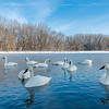 Minnesota River Trumpeters