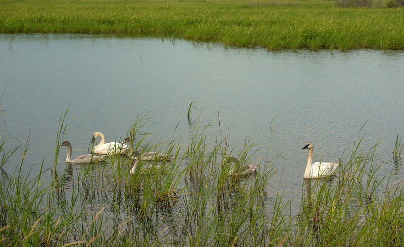 ATS-13-155: Feeding Trumpeter Swan family