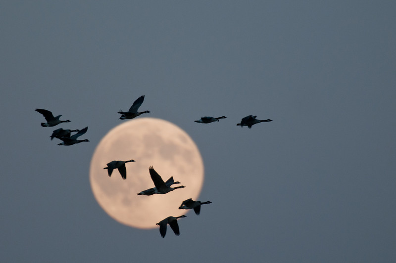 ACG-10039: Canada Geese and full moon