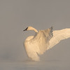 Trumpeter Swan on the river