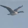 ACG-10022: Canada Goose in flight (Branta canadensis)
