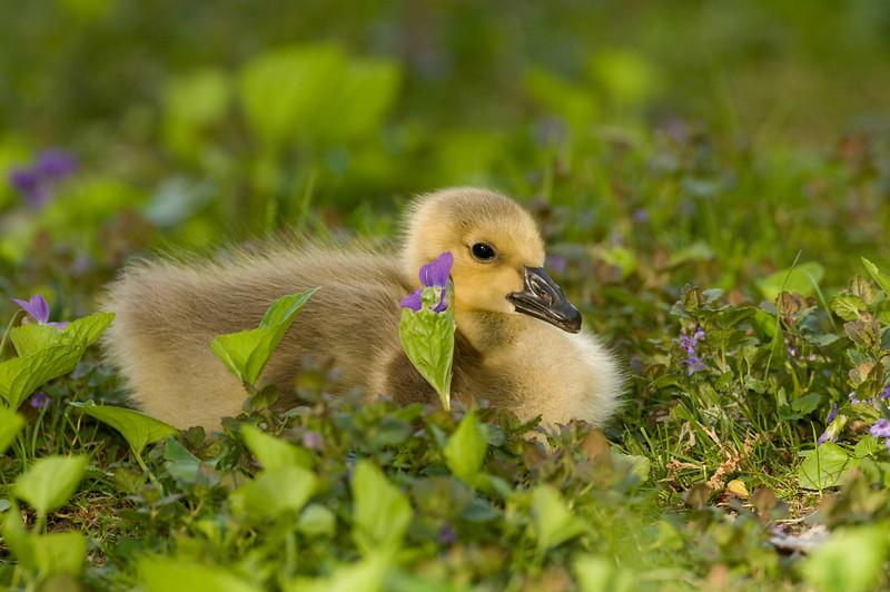 ACG-8011: Resting Gosling: (Branta canadensis)