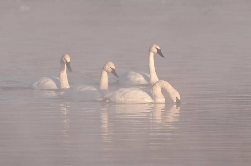 ATS-11031: Misty morning Trumpeters