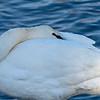 Snoozing Trumpeter Swan