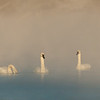 Trumpeters in early morning fog
