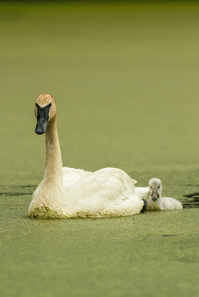 Mom with Cygnet