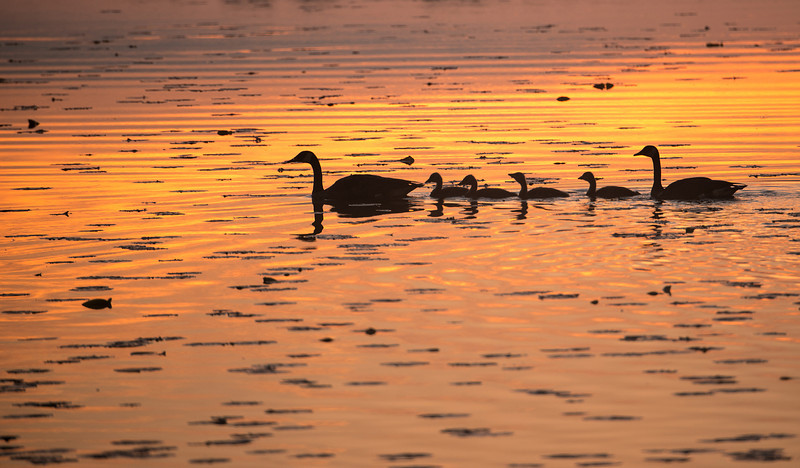 ACG-13-32: Geese family at sunrise