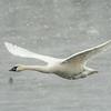 Trumpeter Swan in falling snow