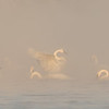 Trumpeter Swans in morning river fog