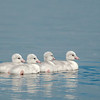 ATS-13-107: Newly hatched Cygnets