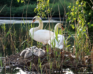 Swans and Cygnets, Cannop Ponds