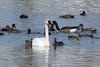 Trumpeter Swan, Gadwall, American Wigeon, Redheads, Canada Goose