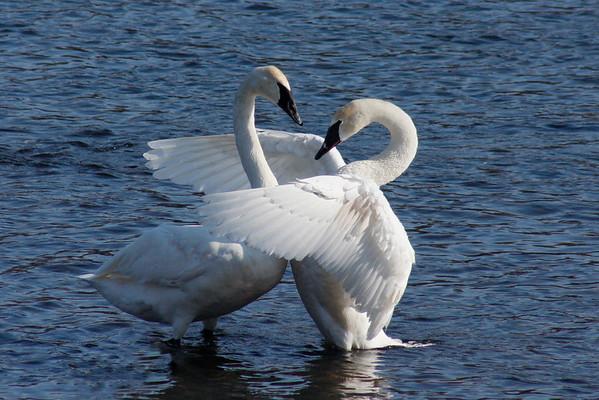 Trumpeter Swan Pair #6 (Cygnus buccinator)