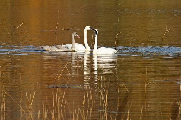 Trumpeter Swan Family #3 (Cygnus buccinator)