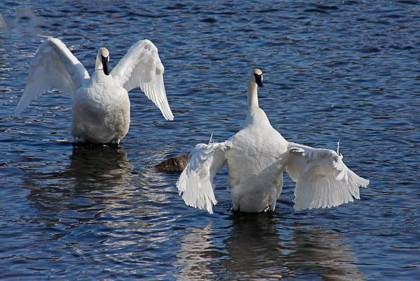Trumpeter Swan Pair # 12 (Cygnus buccinator)
