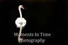 Swan in Cape Cod
