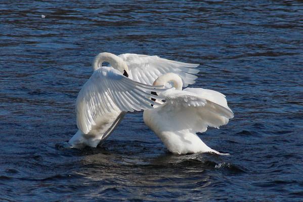 Trumpeter Swan Pair #7 (Cygnus buccinator)