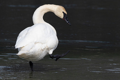 0U2A2391_Trumpeter swan