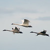 Three trumpeter swans during the trumpeter swan migration<br /> Professional Wildlife Photography by Christina Craft of the Nature Stock Photography Library