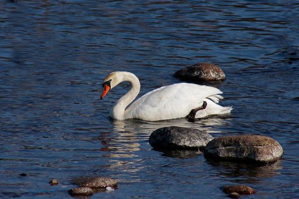 Mute Swan #1 (Cygnus olor)