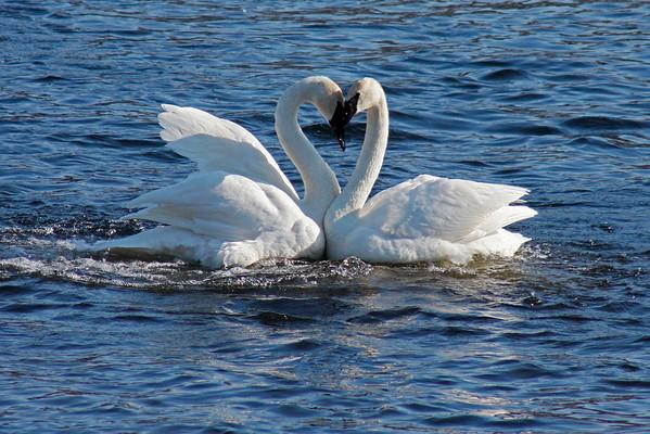 Trumpeter Swan Pair #2 (Cygnus buccinator)