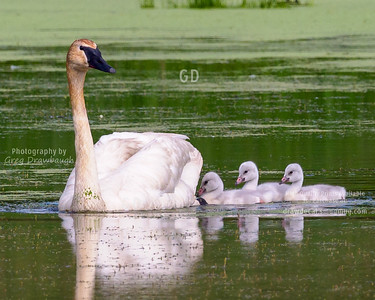 Cygnets and Mom
