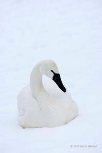 Trumpter Swan