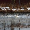 Trumpeter Swan Bathing Beauties