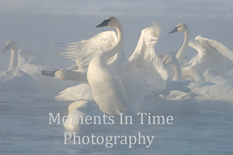 Displaying swan