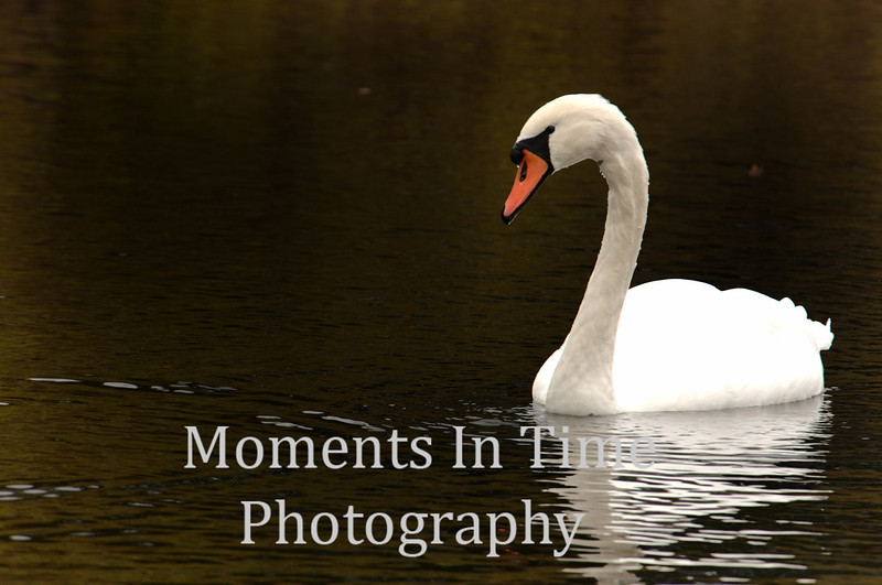 Swan in grist mill pond