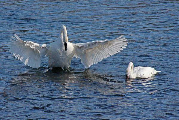Trumpeter Swan Pair #11 (Cygnus buccinator)