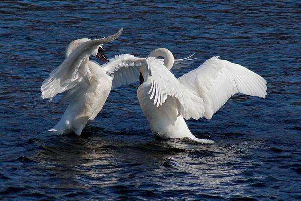 Trumpeter Swan Pair #8 (Cygnus buccinator)
