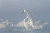 Swan splendor