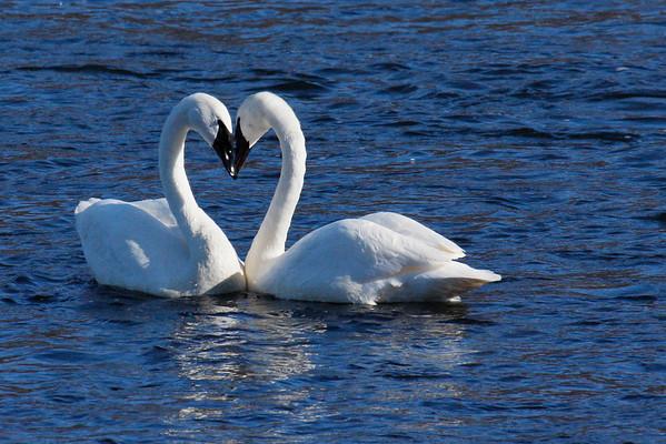 Trumpeter Swan Pair #1 (Cygnus buccinator)