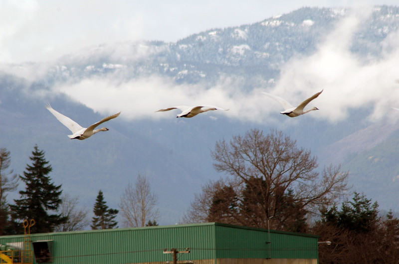 Three trumpeter swans in flight<br /> Professional Wildlife Photography by Christina Craft of the Nature Stock Photography Library