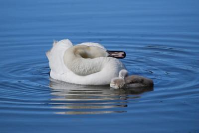 Mute Swan & chick