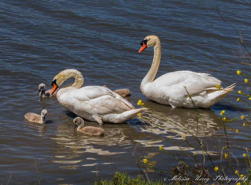 Mute Swans and Cygnets