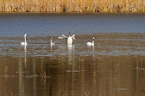 Trumpeter Swan Family #4 (Cygnus buccinator)