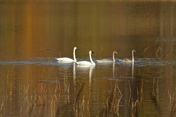 Trumpeter Swan Family #5 (Cygnus buccinator)