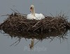 Flood Insurance!!!<br /> Mother Swan  ---  resting after working very hard to build up the nest.
