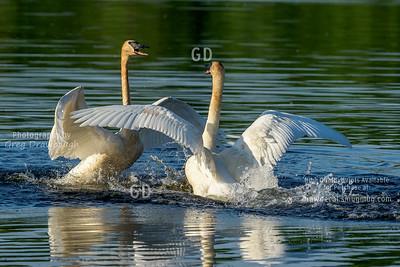 Trumpeter Swan Rumble