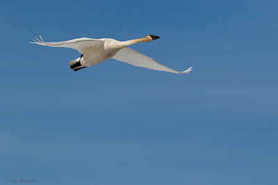 0U2A0520_Trumpeter swan