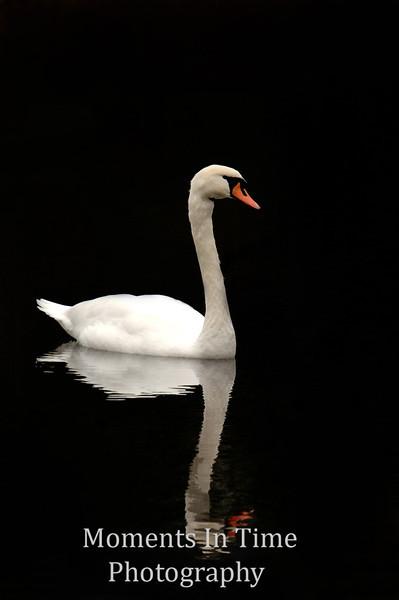 9swa Regal swan