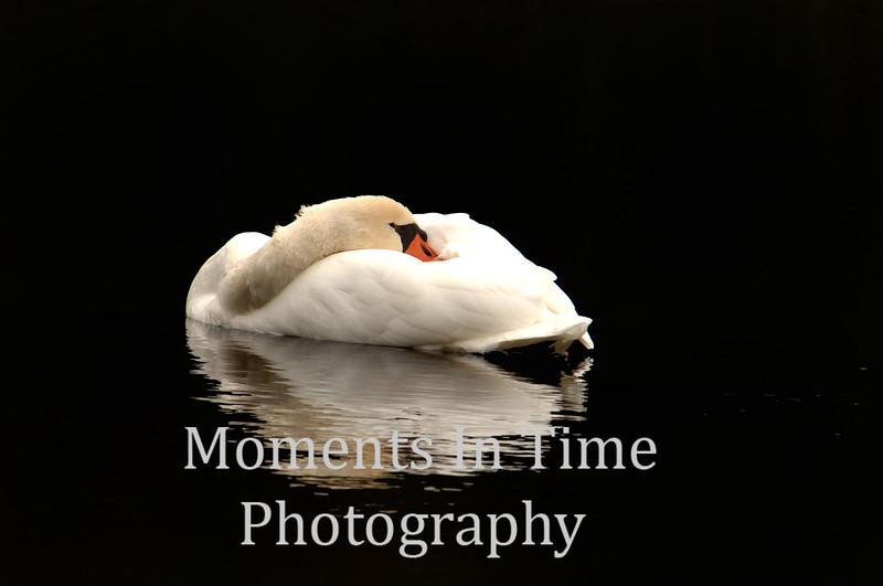 Resting swan bl